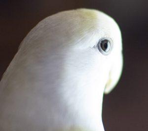 Detalle de la pupila en June, una hembra pallid, con ojos algo más claros de lo habitual. Nació con ojos tintos, como se puede ver en la foto anterior.