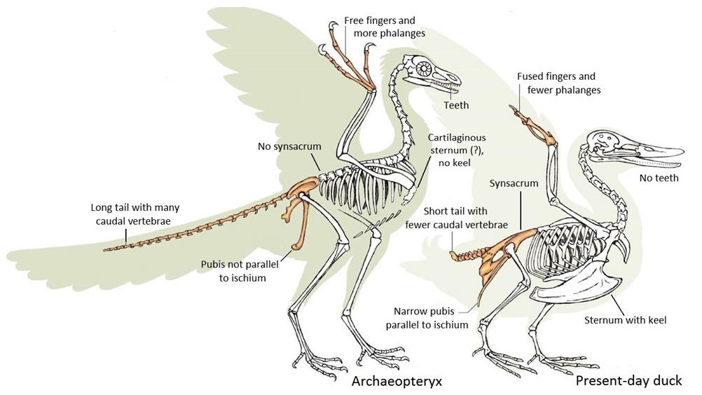 Comparison of the skeletons of Archaeopteryx and a present-day duck